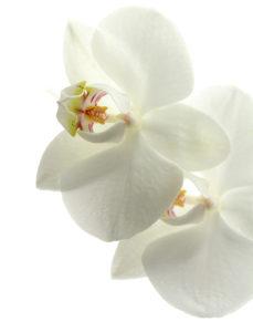 bílá orchidei
